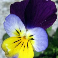 The Wild Pansy (a thought for Trinity Sunday)